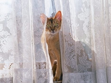 Curtain Cat