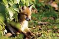 Cute Foxie