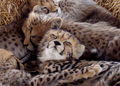 Cute - cheetah photo