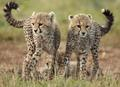Cute two - cheetah photo