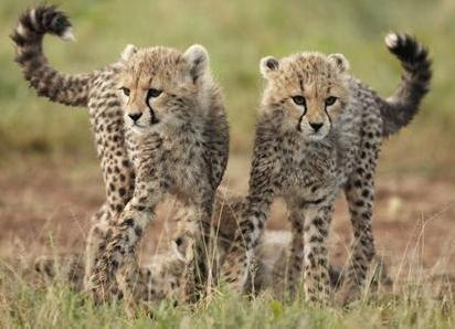 Cute two - cheetah PhotoReally Cute Baby Cheetahs