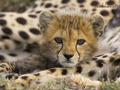 Cutie - cheetah photo