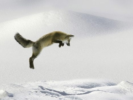 Wild Animals wallpaper called Jumping Fox