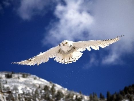 Wild Animals wallpaper entitled Owl In Flight
