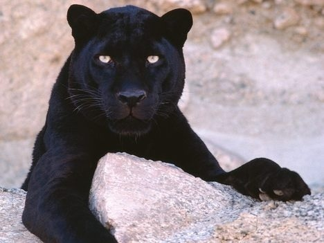 Wild Animals wallpaper with a panther titled Panther