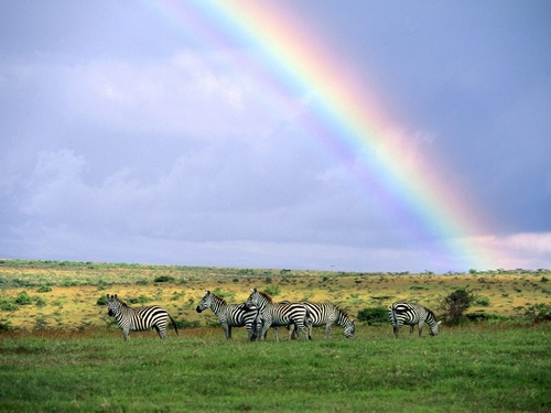 Wild Animals wallpaper containing a zebra, a mountain zebra, and a common zebra called Rainbow