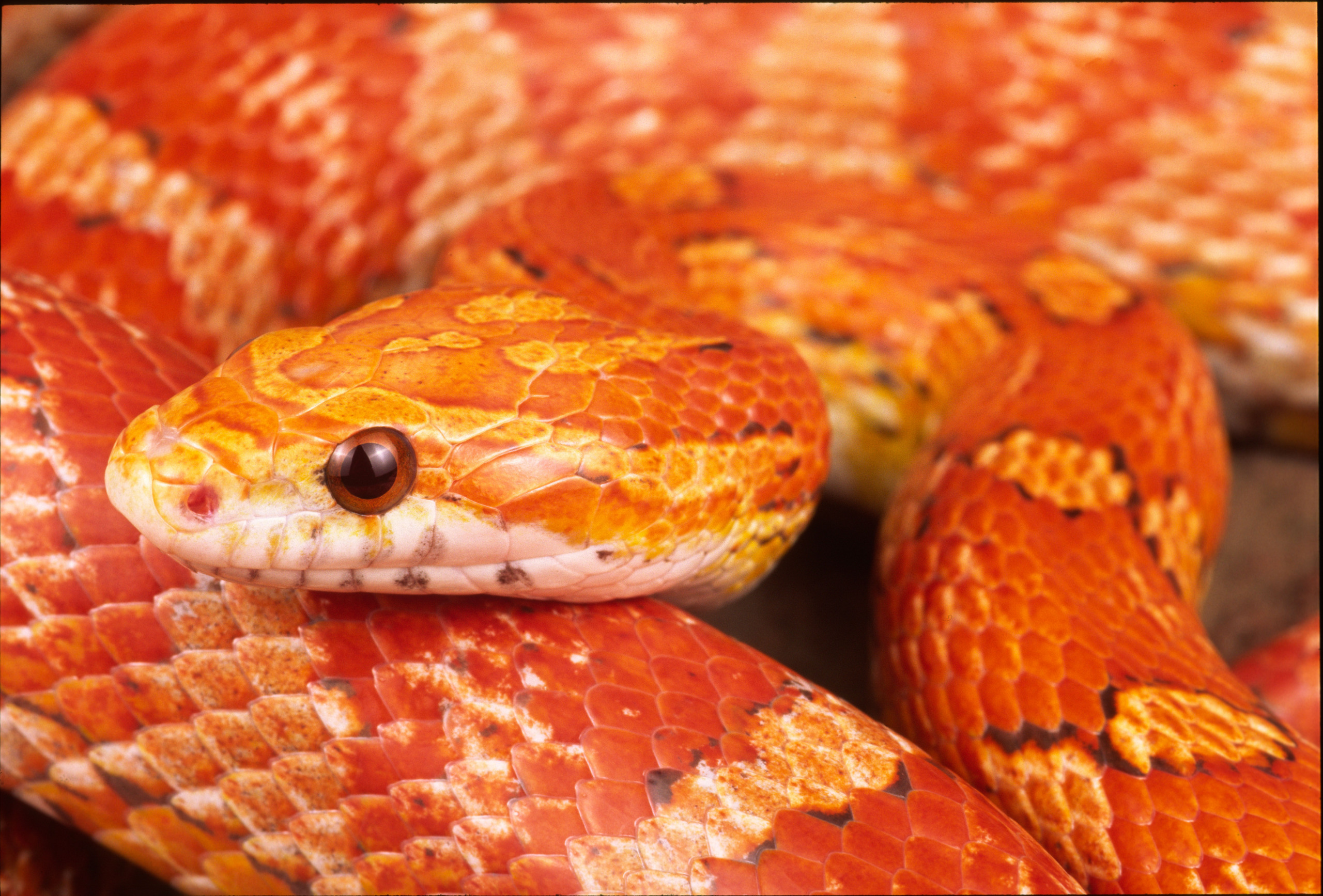Snakes Images Corn Sake HD Wallpaper And Background Photos