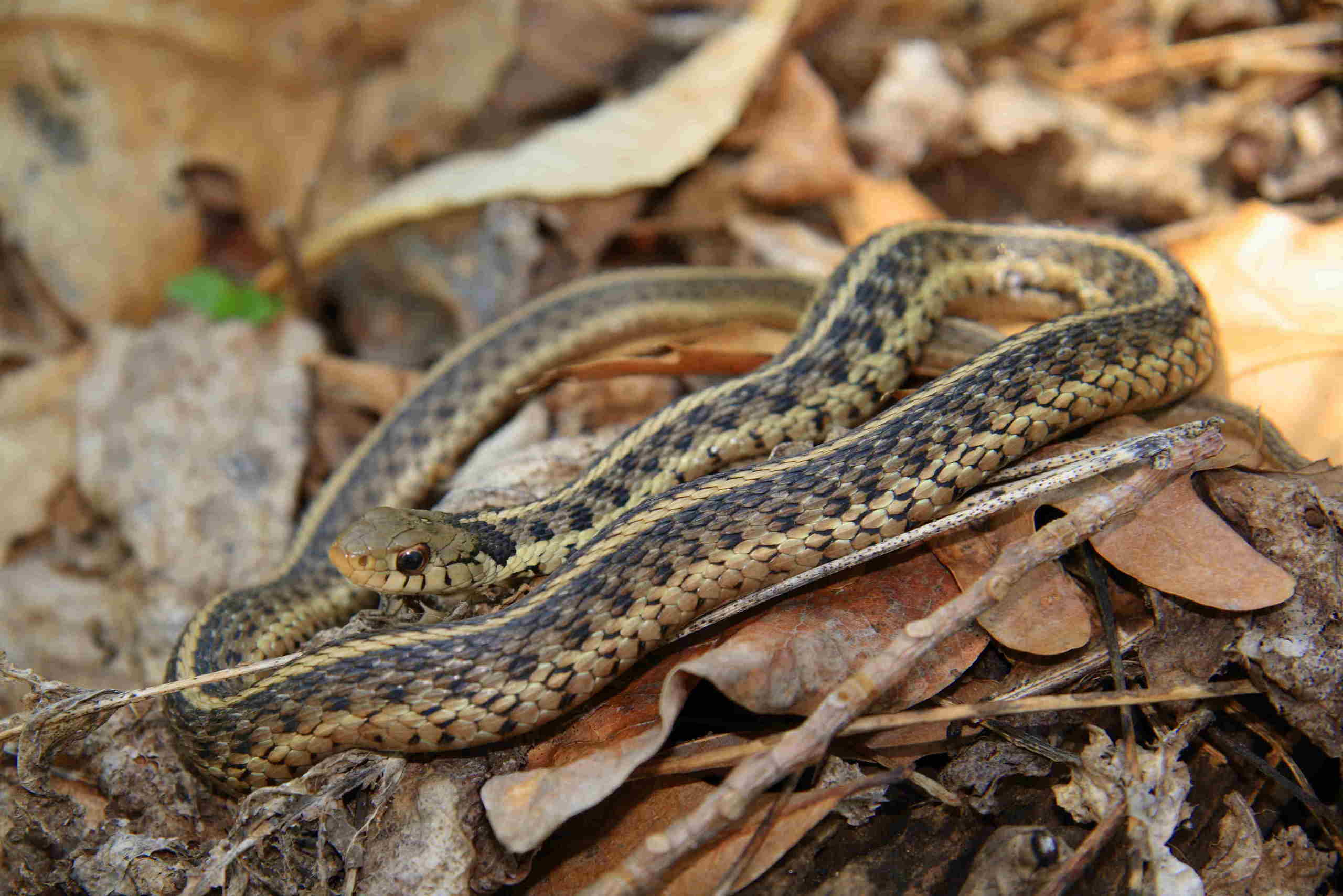 Garter Snake Snakes Photo 2859572 Fanpop
