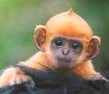orange baby monkey