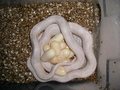snake with eggs