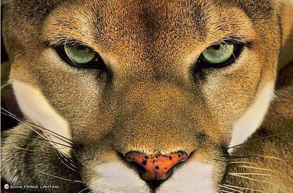 Big-cats-big-cats-2927285-591-391.jpg
