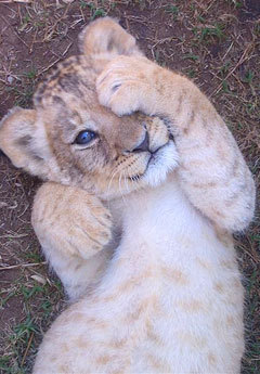Animals wallpaper called Lion cub