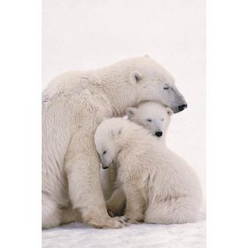 Mother polar ভালুক with her cubs