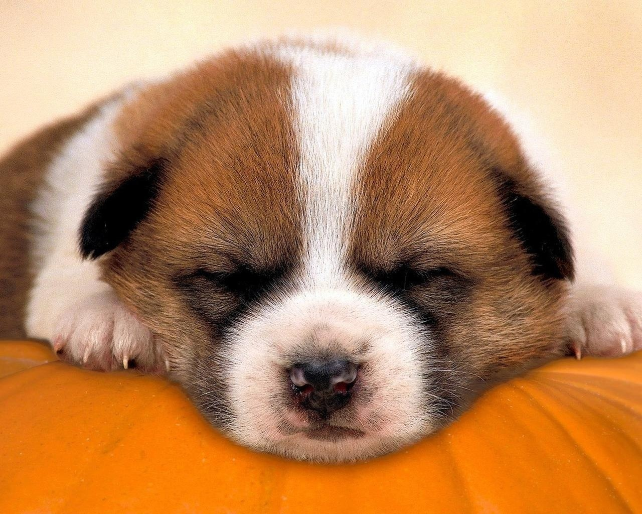 Domestic animals sleepy pup