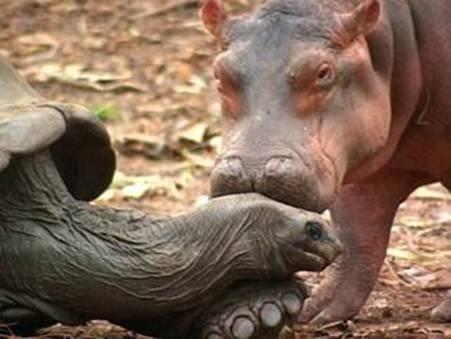 The Hippo and The rùa, con rùa