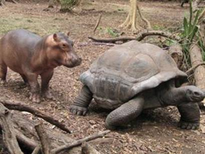 The Hippo and the tortue