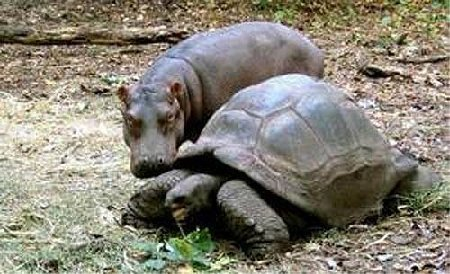 The Hippo and the schildkröte