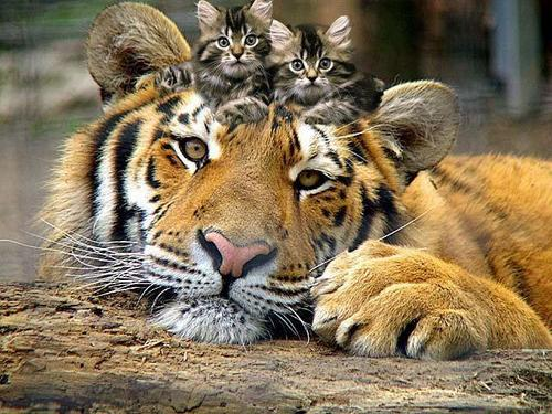 Tiger and Kittens