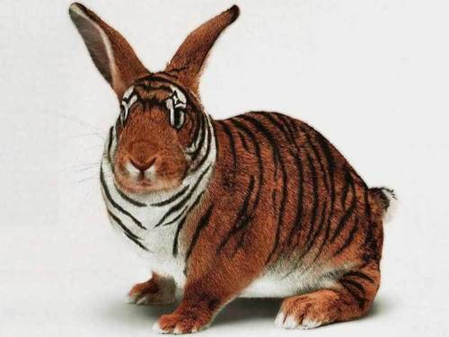 Tiger o rabbit