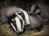 das, badger cubs
