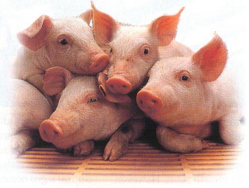 piggys :D