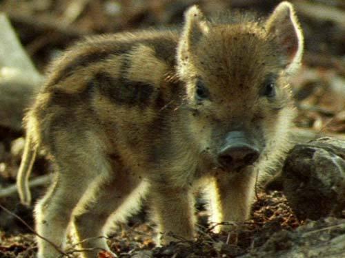 wild baby pig :)