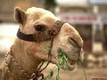 Camel - wild-animals photo