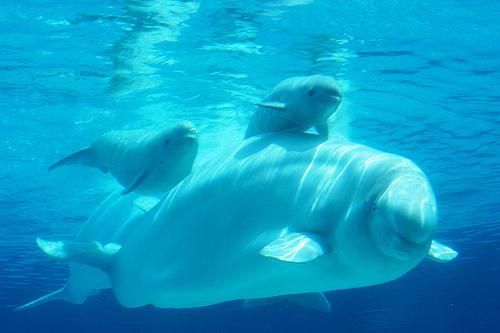 Beluga whales wallpaper - photo#14