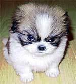 Grumpy little dog