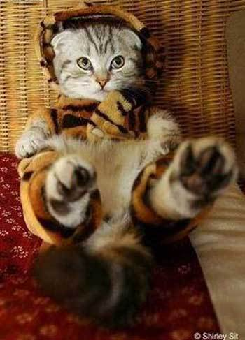 Pets in Costumes images Kitten in cute tiger costume wallpaper and background photos & Pets in Costumes images Kitten in cute tiger costume wallpaper and ...