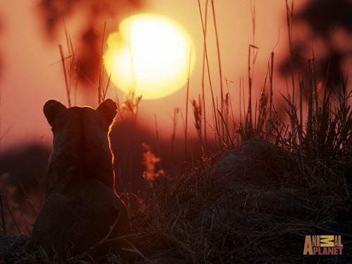 Lion Hintergrund