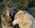 Wolf Leah and Seth