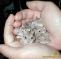 my little hamsters as babies - hamsters photo