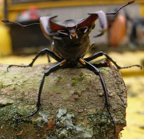 my rusa beetle Ken