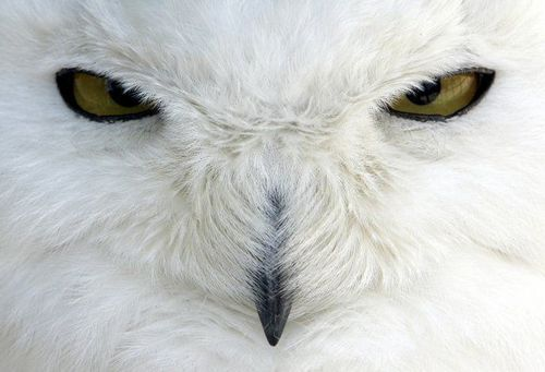 white owl - animal-planet Photo