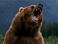 Bear - wild-animals wallpaper