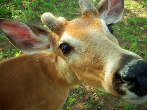 Deer - animals Photo