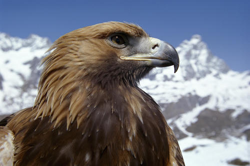 Animal Planet wallpaper possibly containing a golden eagle, a tawny eagle, and a peregrine entitled Eagle