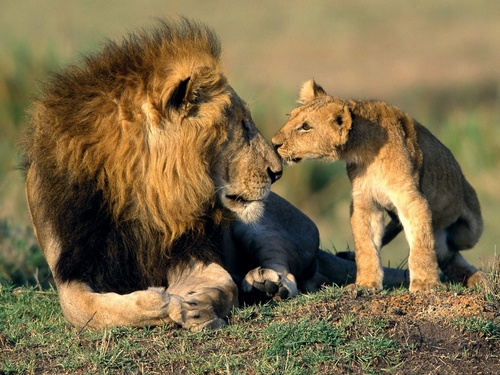 Wild Animals wallpaper with a lion entitled Father And Son