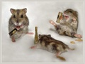 Happy Hamsters - domestic-animals wallpaper