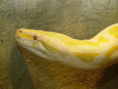 Miley,my burmese phython