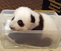 Panda in a Container