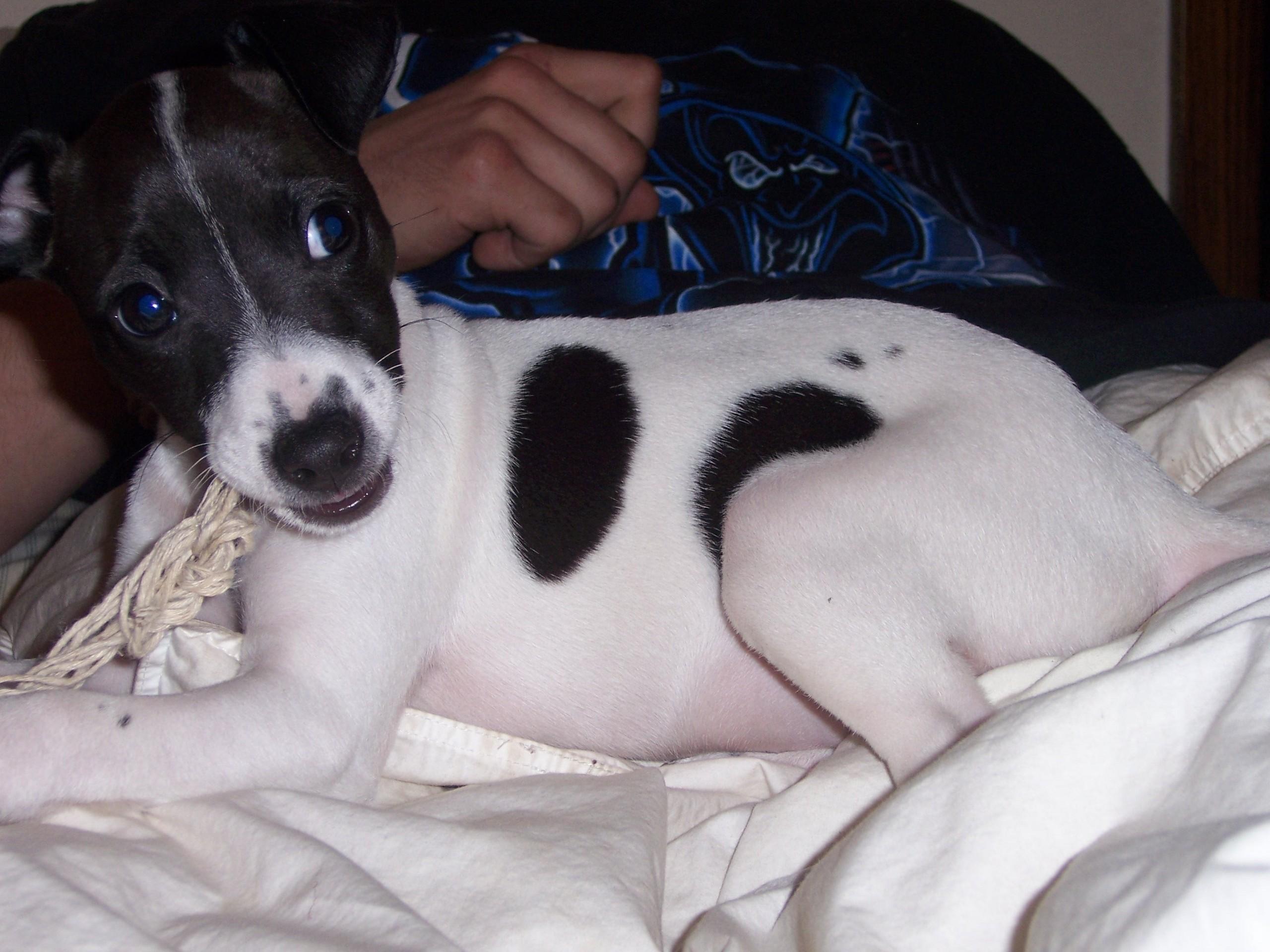 Jack Russell Terriers SadieLady