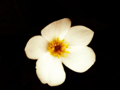 White Flower - flowers Photo