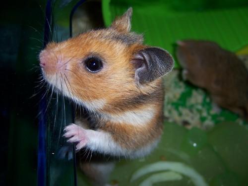 budda fam hamsters