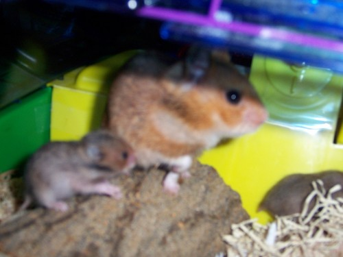 budda fam hamsters - hamsters Photo