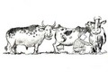 Cows - graphic-humor photo