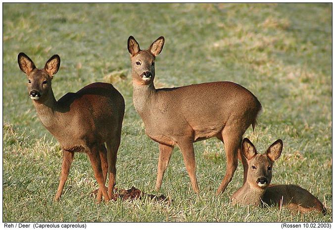 Deer images Deers wallpaper and background photos (3417175)