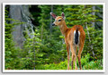 Deers - deer photo