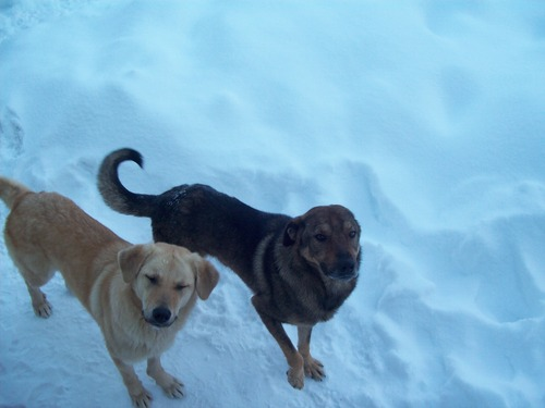 chiens in winter